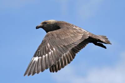 b2ap3_thumbnail_Brown-Skua-off-Stewart-Island-1280-Nov-2015-JJC.jpg