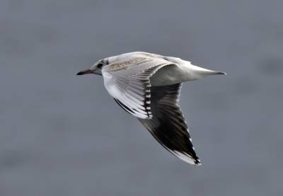 b2ap3_thumbnail_Brown-hooded-Gull-juv-JJC-800.jpg