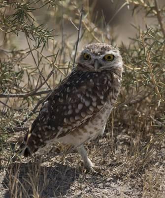 b2ap3_thumbnail_Burrowing-Owl-Peninsula-Valdes-180220-1280-JJC.jpg