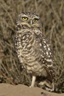 b2ap3_thumbnail_Burrowing-Owl-Valparaiso-JJC-800.jpg