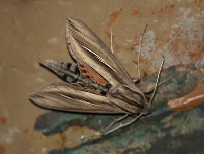 b2ap3_thumbnail_Caicus-Sphinx-Moth-Phryxus-caicus-800-Braemar-JJC.jpg