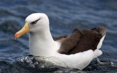 b2ap3_thumbnail_Campbell-Island-Albatross-Jeff-Clarke-2015.jpg
