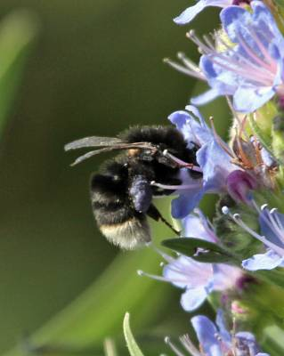 b2ap3_thumbnail_Canary-Island-Bumblebee--800-La-Gomera-March-2015_20150314-143752_1.jpg