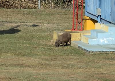 b2ap3_thumbnail_Capybara-Panama-Canal-060219-800-JJC.jpg