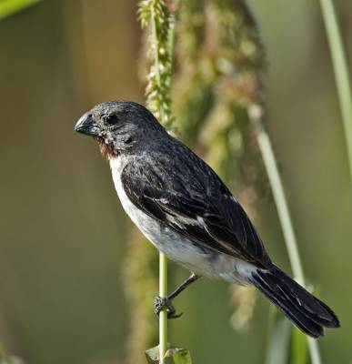 b2ap3_thumbnail_Chestnut-throated-Seedeater-Arica-JJC-1000.jpg