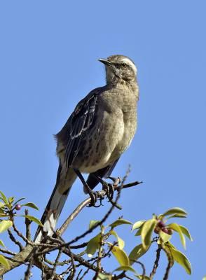 b2ap3_thumbnail_Chilean-Mockingbird-Posada-del-Parque-JJC-800.jpg
