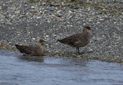 b2ap3_thumbnail_Chilean-Skuas-Beagle-Channel-220220-1280-JJC.jpg