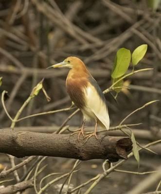 b2ap3_thumbnail_Chinese-Pond-Heron-Benoi-Bali-Jan-2020-1000-JJC.jpg