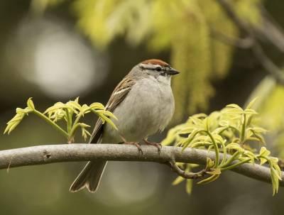 b2ap3_thumbnail_Chipping-Sparrow-Mont-roayla-Montreal-260519-1280-JJC.jpg