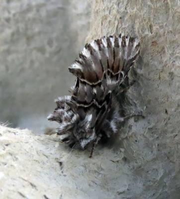 b2ap3_thumbnail_Cleonymia-baetica-moth-Extremadura-May-2018-Laura-Bimson.jpg
