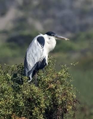 b2ap3_thumbnail_Cocoi-Heron-Posada-del-Parque-JJC-800.jpg
