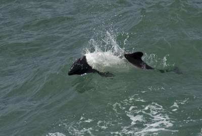 b2ap3_thumbnail_Commersons-Dolphin-2-Megellan-Strait-220220-1280-JJC.jpg