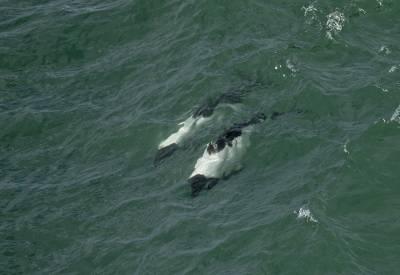 b2ap3_thumbnail_Commersons-Dolphins-surfing-Megellan-Strait-220220-1280-JJC.jpg