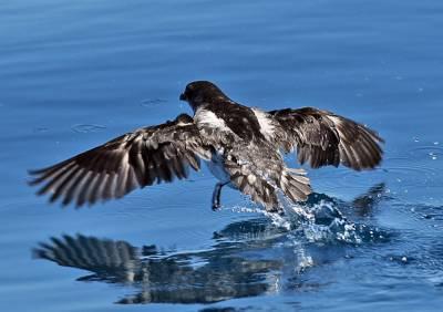b2ap3_thumbnail_Common-Diving-Petrel-1-Hauraki-Gulf-800-Nov-2015-JJC.jpg