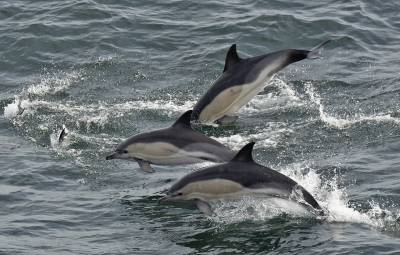 b2ap3_thumbnail_Common-Dolphin-trio-St-Georges-Channel-July-2021-1280-JJC.jpg