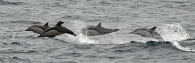 b2ap3_thumbnail_Common-Dolphins-nr-Cocquimbo-JJC.jpg