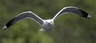 b2ap3_thumbnail_Common-Gull-Bergen-1280.jpg