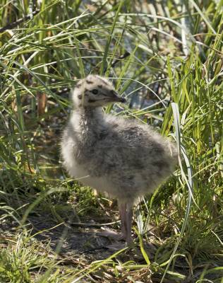 b2ap3_thumbnail_Common-Gull-Chick-Tromso-020718-800-JJC.jpg