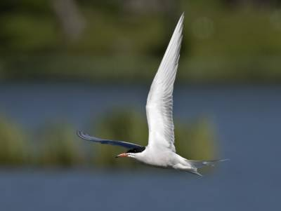 b2ap3_thumbnail_Common-Tern-Pestvannet-Lake-Tromso-020718-1000-JJC.jpg