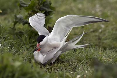 b2ap3_thumbnail_Common-Terns-mating-Inner-Farne-110617-1280-JJC.jpg