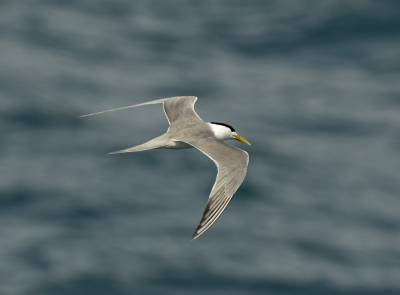 b2ap3_thumbnail_Crested-Tern-off-Cairns-Jan-2020-1280-JJC.jpg