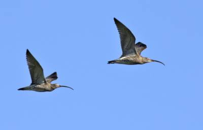 b2ap3_thumbnail_Curlews-Lofoten-Islands-010718-850-JJC.jpg
