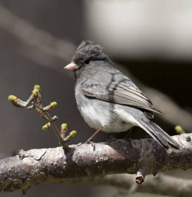 b2ap3_thumbnail_Dark-eyed-Junco-Pinny-Park-St.-Johns-Newfoundland-May-2019-1000-JJC_20190613-091617_1.jpg