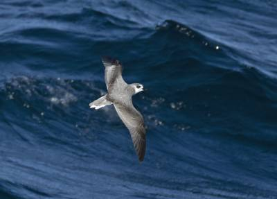 b2ap3_thumbnail_De-Fillipis-Petrel-South-on-San-Antonio-1280-280220-JJC.jpg