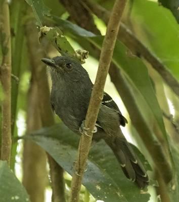 b2ap3_thumbnail_Dusky-Antbird-080219-800-Carara-Reserve-JJC.jpg