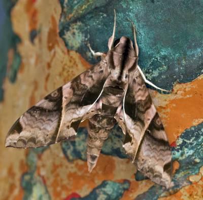 b2ap3_thumbnail_Eumorpha-anchemolus-800-Braemar-JJC.jpg