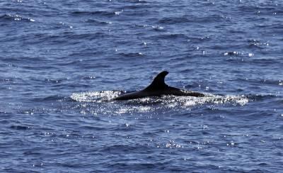 b2ap3_thumbnail_False-Killer-Whale-800-030318-JJC.jpg