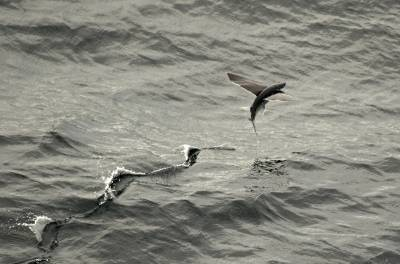 b2ap3_thumbnail_Flying-Fish-from-Braemar-East-tropical-Atlantic-off-Brazil-JJC1280.jpg