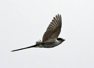 b2ap3_thumbnail_Fork-tailed-Flycatcher-at-sea-after-Valparaiso-800-JJC.jpg