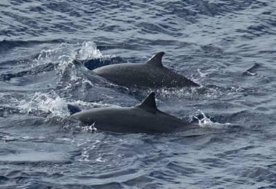 b2ap3_thumbnail_Frasers-Dolphin-dorsal-fins-Savu-sea-110918-1280-JJC.jpg