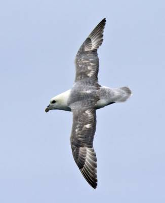 b2ap3_thumbnail_Fulmar-North-Sea-off-Norway-May-2017-JJC.jpg