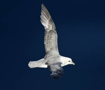 b2ap3_thumbnail_Fulmar-Sea-of-Hebrides-280618-1000-JJC.jpg