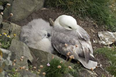 b2ap3_thumbnail_Fulmar-and-chick-Sumburgh-Head.jpg