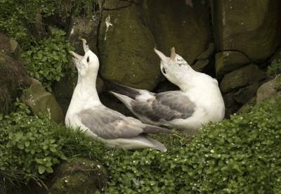b2ap3_thumbnail_Fulmars-nesting-at-Sumburgh-Head-2240619-1280-JJC.jpg