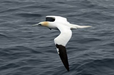 b2ap3_thumbnail_Gannet-3-North-Sea-off-MS-Balmoral-May-2017-JJC.jpg