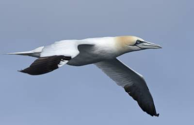 b2ap3_thumbnail_Gannet-The-Minch-280718-1280-JJC.jpg