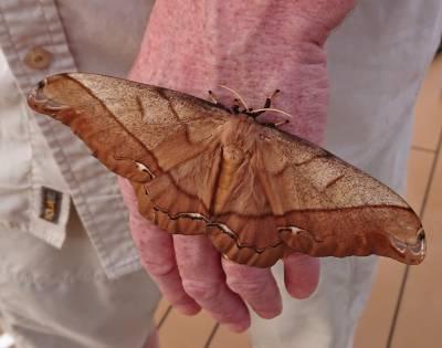 b2ap3_thumbnail_Giant-Silk-Moth-Arsenura-armida-800-JJC.jpg