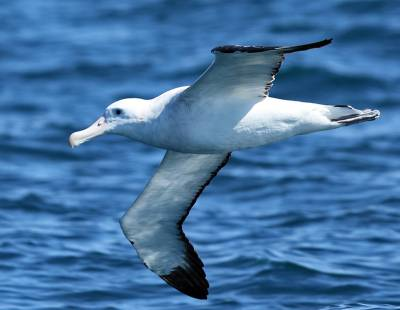 b2ap3_thumbnail_Gibsons-Wandering-Albatross-Kaikoura-Dec-2015-1280-JJC.jpg