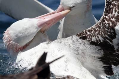 b2ap3_thumbnail_Gibsons-Wandering-Albatrossess-battling-JJC-2012.jpg