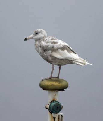 b2ap3_thumbnail_Glaucous-Gull-moulting-to-2nd-Calendar-off-Bear-Island-040718-1000-JJC.jpg