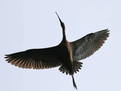 b2ap3_thumbnail_Glossy-Ibis-Cabo-de-Praia-Terceira-250915-JJC-800.jpg