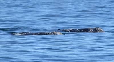 b2ap3_thumbnail_Gray-Whale-1--twosome-San-Diego-800-180219-JJC.jpg