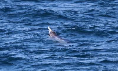b2ap3_thumbnail_Grays-beaked-whale-Tasman-Sea-2012-copyright-Jeff-Clarke.jpg