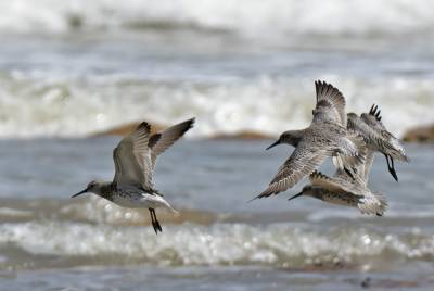 b2ap3_thumbnail_Great-Knot-landing-Darwin-090318-1000-JJC.jpg