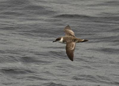 b2ap3_thumbnail_Great-Shearwater-near-Cape-Horn-200220-1280-JJC_20200305-174452_1.jpg