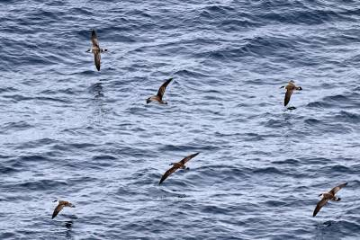 b2ap3_thumbnail_Great-Shearwaters-NE-Atlantic-off-Portugal-031015-JJC.jpg